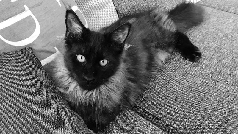 Domestic Animals Pets Animal Themes One Animal Domestic Cat Indoors  Whisker Portrait Close-up Alertness Looking At Camera Staring Curiosity Animal Animal Head  Black Smoke Kitten Black And White Photography Maine Coon Resting No People Laziness