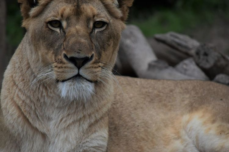 The Lion Queen Close-up Faces Of Africa Faces Of EyeEm Faces Of The World Faces Of The Zoo Fort Worth Zoo Lion Lion Queen! Lioness Lioness Queen Looking At Camera Portrait Wildlife Zoo Zoo Zoo Animals  Zoology Zoophotography