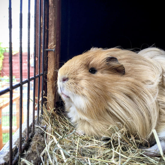 Close-up of a guinea pig in a cage