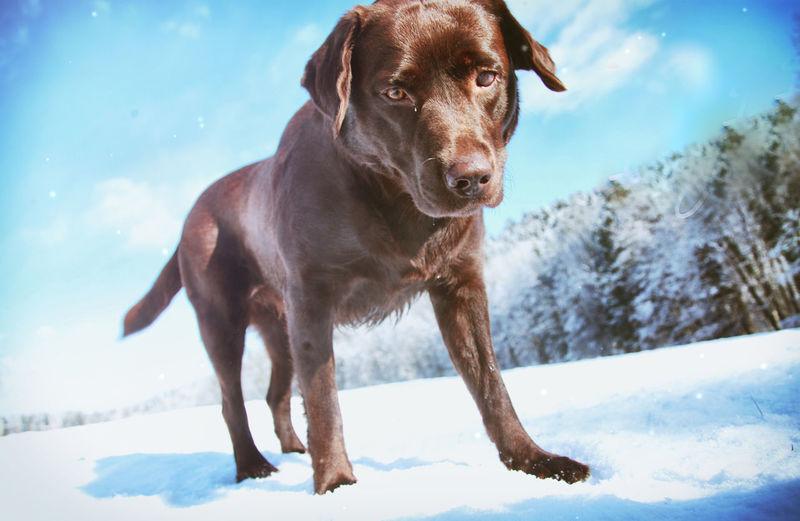winterwonderland for labrador Labrador Chocolate Brown Cold Temperature Dog Domestic Animals Labrador Retriever Mammal Nature Pets Schokobraun Snow Winter Winterwonderland