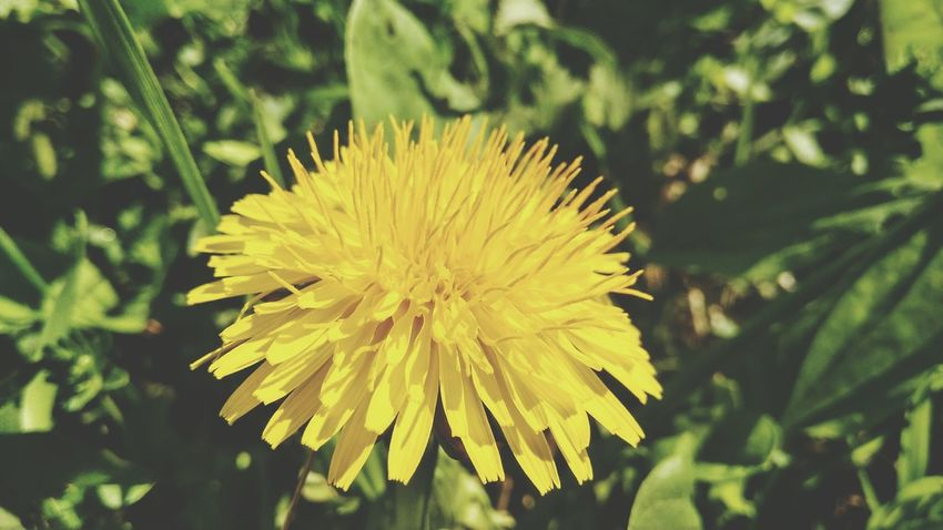 3XSPUnity 3XSPhotographyUnity 3XSPUnity EyeEm Nature Forest Photography Beauty In Nature Flower Head Flower Yellow Petal Close-up Plant Green Color Dandelion Dandelion Seed Softness Blossom