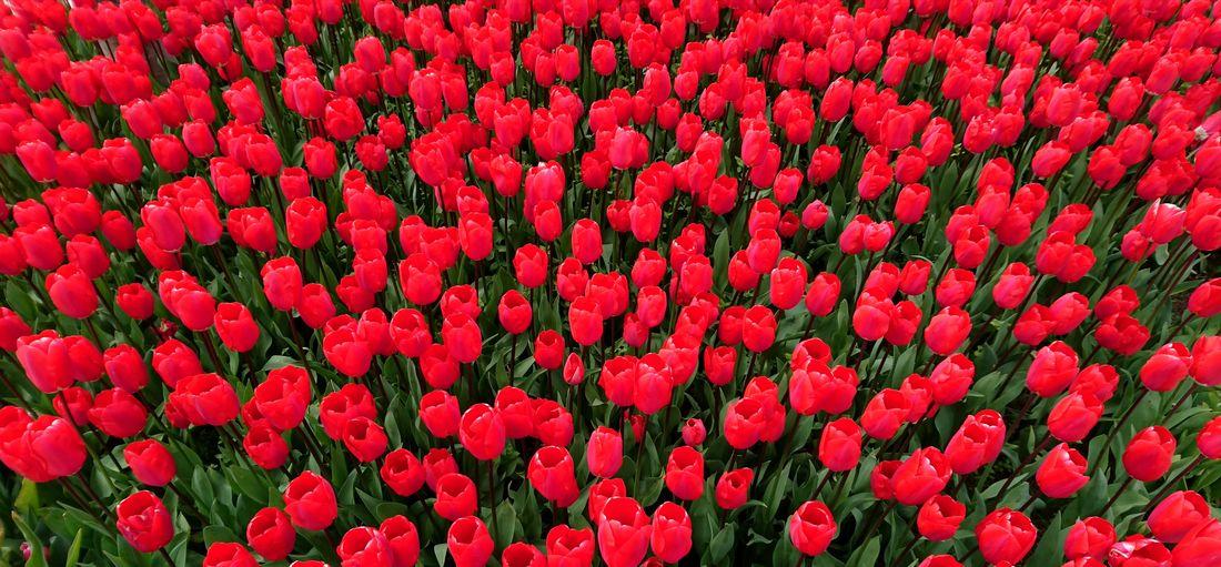 Full frame shot of red tulip flowers