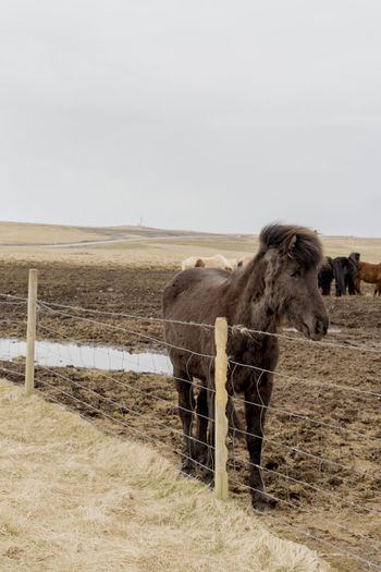 Iceland Iceland Pony Animal Themes Animal Wildlife Animals In The Wild Day Domestic Animals Full Length Grass Landscape Mammal Nature No People Outdoors Safari Animals Sky