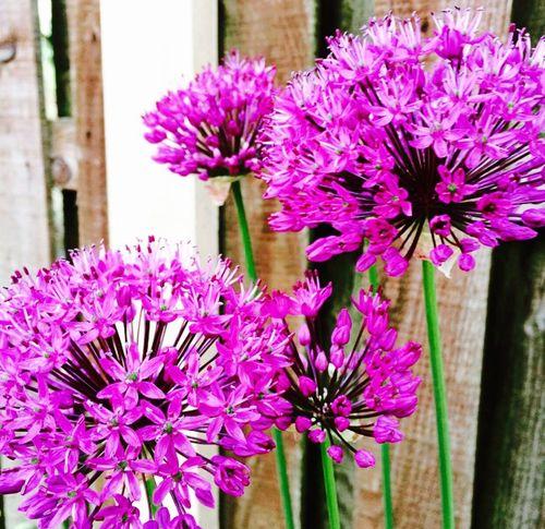Flower Allium Garden Home Home Sweet Home Flowers,Plants & Garden Homeandgarden Gardening Garden Photography Purple Purple Flower Colourful Nature Natural Beauty Plant Naturalworld Beauty In Nature Beautiful Britishsummer