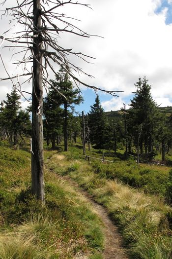 Path Cloud - Sky Coniferous Tree Day Direction Environment Forest Grass Green Color Growth Land Landscape Nature No People Non-urban Scene Outdoors Plant Sky Trail Tranquil Scene Tranquility Tree