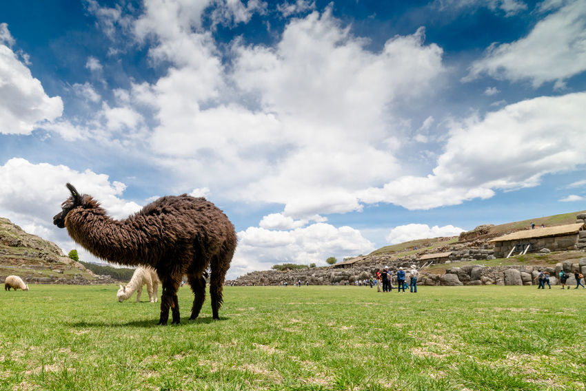 Lama at work at the archeological site of Sacsayhuamán near Cuzco Perù Alpaca Animal Animal Themes Beauty In Nature Cloud - Sky Clouds And Sky Cusco Cuzco - Peru Cuzco-Perú Grass Lama Lamaphotography Landscape Landscape_Collection Landscape_photography Nature Outdoors Peru Peru Traveling Perú ❤ Sacsayhuaman Sky Travel Travel Destinations Work