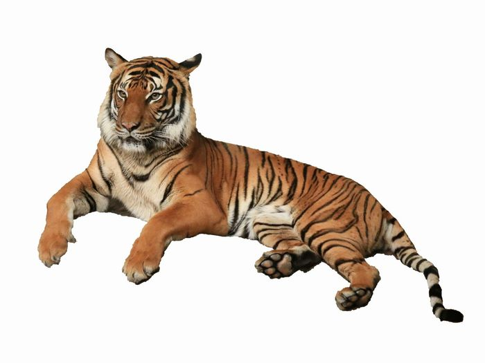 White Background Tiger Siberian Tiger  Animal Themes Animal Mammal Tiger One Animal Big Cat Animal Wildlife Feline Cut Out No People Cat Carnivora Full Length Pets Striped Animals In The Wild Domestic Animals White Background Vertebrate