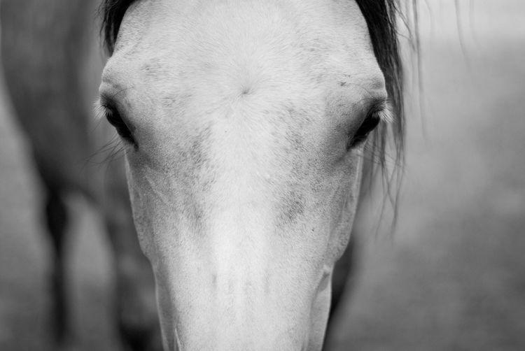 Close-up portrait of arabian horse