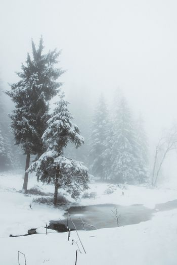 Tree Snow Winter Cold Temperature Plant Nature Beauty In Nature Outdoors Land Fog Pinaceae No People Snowing Coniferous Tree Pine Tree Tranquil Scene Scenics - Nature Tranquility Sky Day