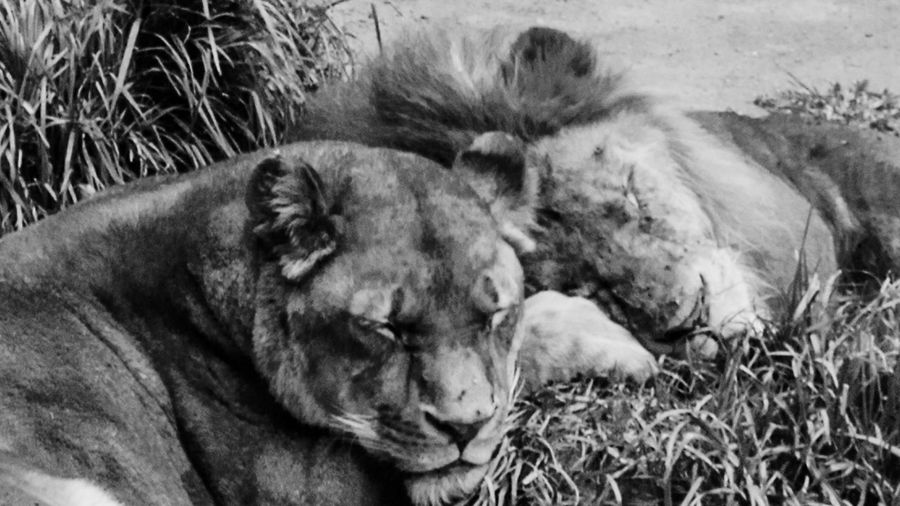 Animal Themes Animals In The Wild Close-up Day Grass Lioness Lying Down Mammal No People One Animal Outdoors Relaxation Sleeping