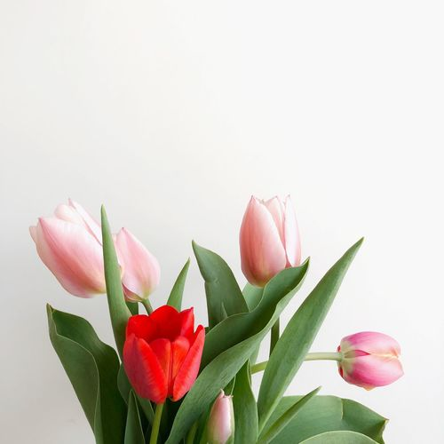Beauty In Nature Bunch Of Flowers Close-up Copy Space Flower Flower Arrangement Flower Head Flowering Plant Fragility Freshness Green Color Indoors  Inflorescence Leaf No People Petal Pink Color Plant Plant Part Studio Shot Tulip Vulnerability  White Background