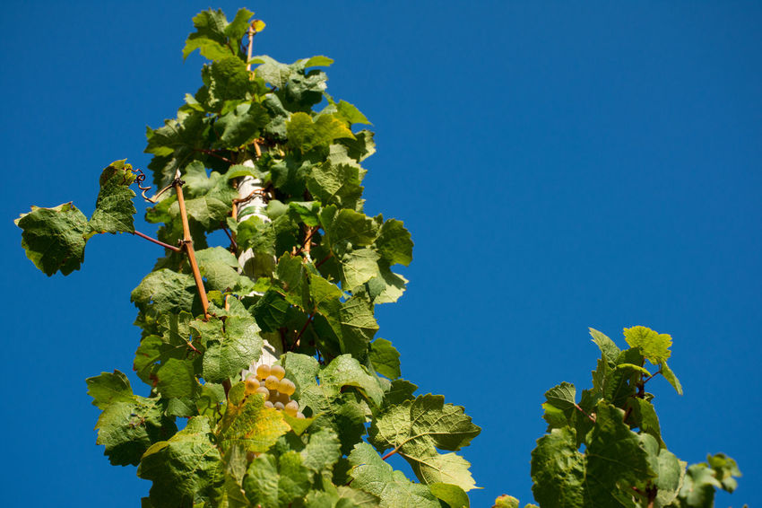 Autumn EyeEm Nature Lover Reben Vines Wein Beauty In Nature Blue Clear Sky Close-up Food And Drink Freshness Fruit Growth Low Angle View Nature Outdoors Trauben Vineyard