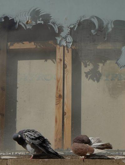 Pigeons preening against window