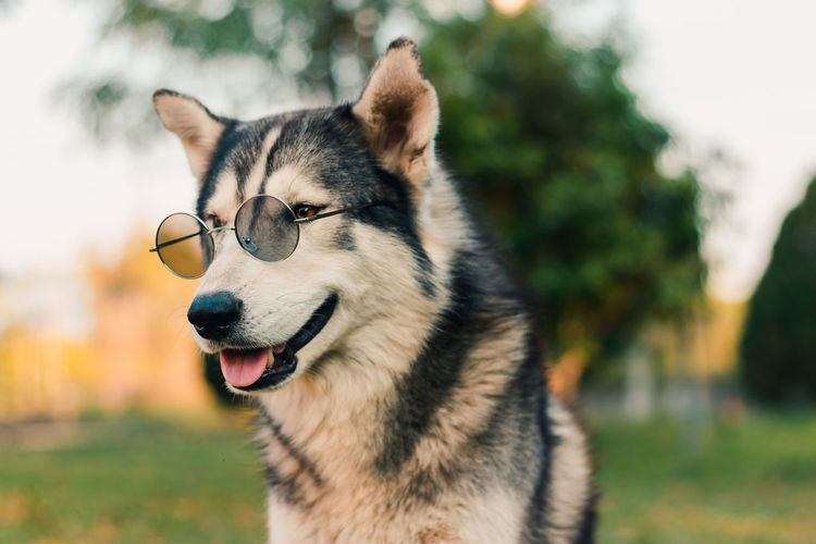 Close-up of dog wearing sunglasses outdoors