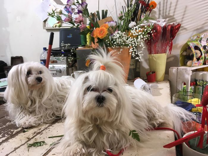 Pets Dog Animal Themes Domestic Animals Flower Mammal White Color One Animal West Highland White Terrier Indoors  Looking At Camera Portrait No People Day