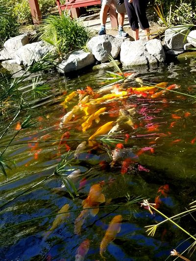 People Feeding Koi Feeding Fish Pond Group Of Fish Hungry Red Garden Multi Colored Nature Outdoors Beauty In Nature Tranquility Swimming Natural Condition Check This Out Meditation Selective Focus Fine Art Photography