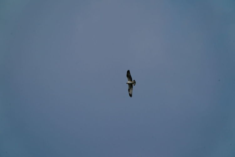 Hawk Animal Animal Themes Animal Wildlife Animals In The Wild Bird Blue Clear Sky Copy Space Day Flying Low Angle View Mid-air Motion Nature No People One Animal Outdoors Sky Spread Wings Vertebrate