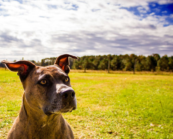 Wondering dog 2 Brendlepitbull Brendle Bulldog Pitbulls Pitbull Clouds Dogs Dog Canon Rebel T5 Canon1200d Canon Rebel Tree Pets Day Close-up Nature No People Outdoors Domestic Animals Grass Mammal Sky Animal Themes Cloud - Sky One Animal