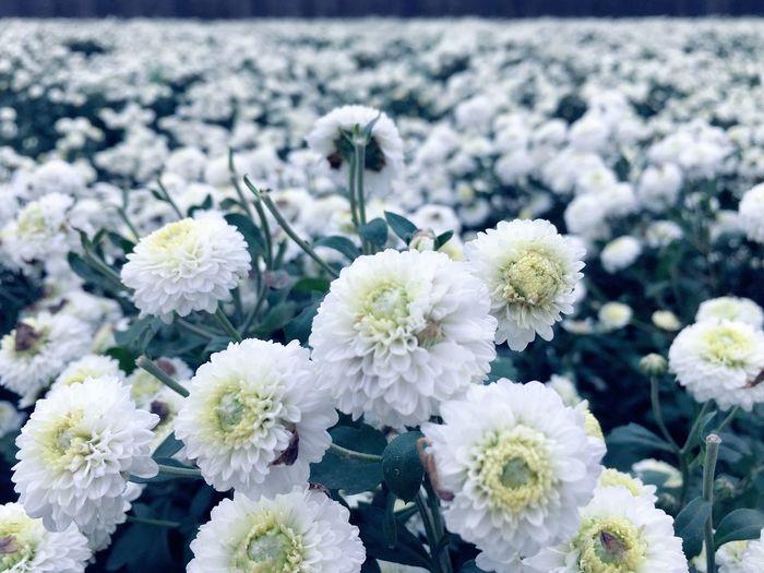 今天,杭菊,我生日 Flower Fragility Nature Growth Beauty In Nature Plant Petal No People Freshness Flower Head Outdoors Blooming Close-up Day EyeEmNewHere Landscape EyeEm Taiwan