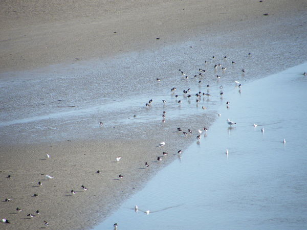 Animal Themes Beach Beauty In Nature Bird Day Estuary Large Group Of Animals Laugharne Laugharne Esturay Nature Outdoors Oyster Catchers People Sand Sea Sea Birds Wading Birds Water Wave