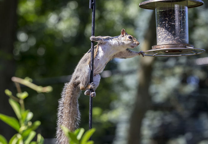 Up the pole Animal Animal Themes Animal Wildlife Animals In The Wild Bird Feeder Bird Feeder Hanging Hanging Hanging On Mammal Nature One Animal Poaching Rodent Squirrel Squirrel Closeup Thief Up The Pole