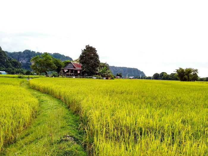 Nature Landscape Scenics Agriculture Cloud - Sky Growth Sky Field Beauty In Nature Tree Flower Rural Scene No People Tranquility Springtime Yellow Outdoors Green Color Travel Destinations Tranquil Scene Paddy Field Harvest Season Yellow Paddy House In Paddy Field Rural Landscape