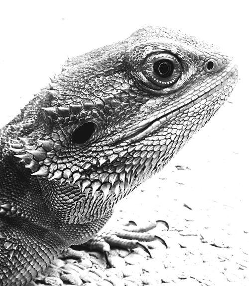 Blackandwhite Bartagame Bearded Dragon Echsen
