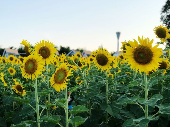 Sunflowers field in day light outdoor summer season Flower Growth Flowering Plant Plant Yellow Fragility Freshness Vulnerability  Flower Head Beauty In Nature Sunflower Inflorescence Sky Petal Nature Close-up Plant Stem Clear Sky Field No People