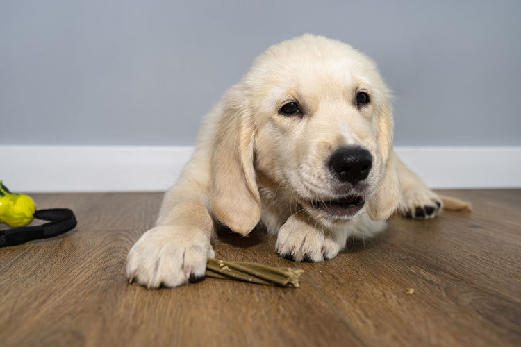 Portrait of dog lying on wooden table
