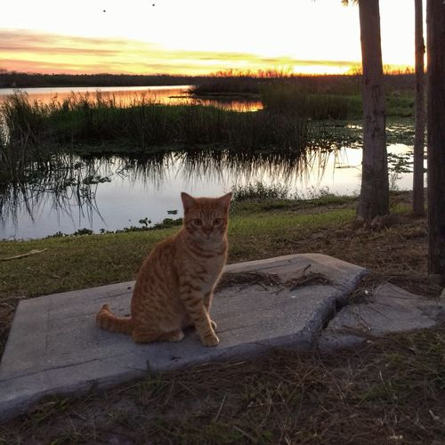 Fish camp cat Domestic Cat Looking At Camera Feline Cats Of EyeEm Sitting Pretty St Johns River Melbourne Florida Tiger Striped Cat