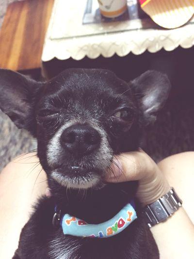 Stupid dog Chiwawa Cute Chiwawa Puppy Puppy