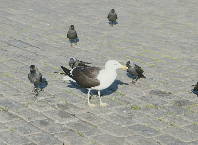 Lesser Black Backed Gull Gull Turku In Finland Birds At The Market Place Bird Photography Jackdaw Jackdaws