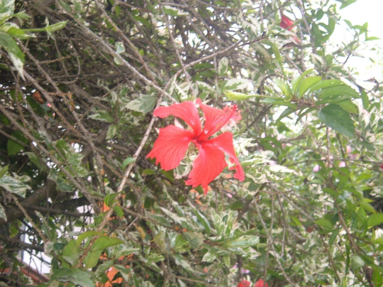flower, growth, day, nature, outdoors, flower head, no people, red, fragility, hibiscus, freshness, blooming, close-up, beauty in nature