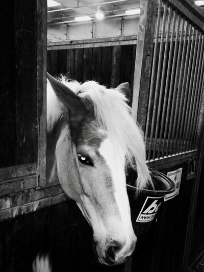 Alfingher Animal Body Part Animal Themes Annalise Beautiful Beauty In Nature Blackandwhite Domestic Animals Fallinlovewithher Horse Horse Photography  Lovee Loveher One Animal Halfinger