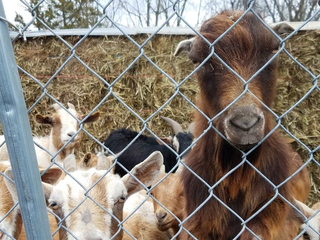 A goat staring from a fence Goat Herd Cute EyeEm Selects Fence Chainlink Fence Boundary Barrier Day Metal Protection Security Safety Mammal Nature Animal Close-up Outdoors Animals In Captivity