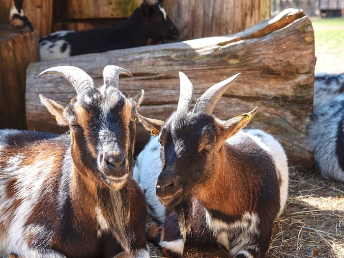 View of goats on field