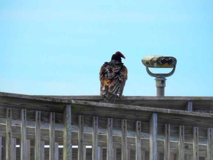 Bird watching - Buzzard  Birds Bird Photography San Bernard Refuge, Churchill, TX