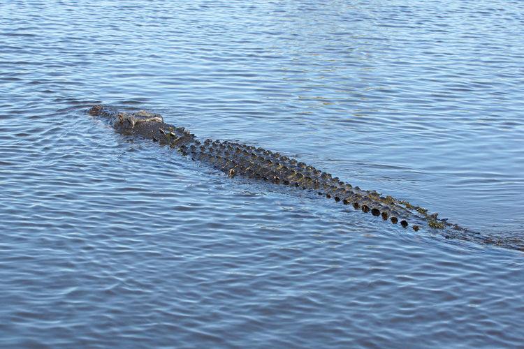 Saltwater Crocodile, Kakadu National Park, Australia Animal Animal Themes Animals In The Wild Australia Crocodile Crocodylus Porosus Fauna Kakadu National Park National Park Nature No People Outdoors Reptile Salties Saltwater Crocodile Tourism Travel Destinations Water Wildlife