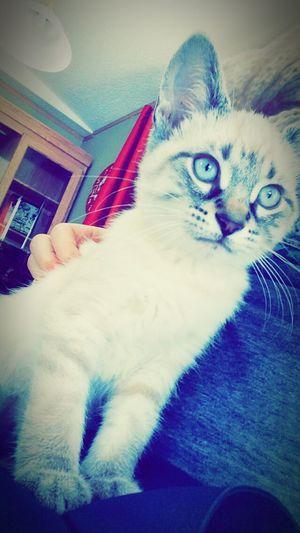 Catlovers BlueEyes Bestcatcane Erhave❤️☺️