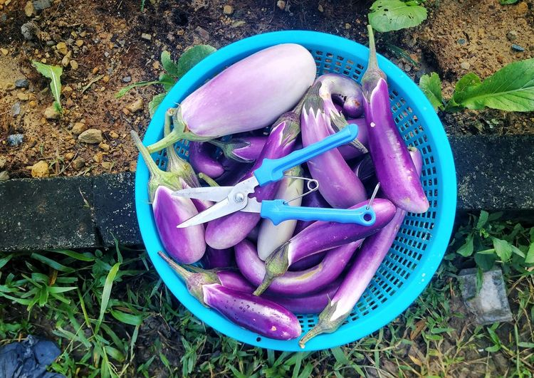 A basket of eggplant Plantation Farm Garden Organic Radish Food Carrot Home Backyard Vitamins Diet Vegetable Seeds Background Vegan Fresh Green Agriculture Long Cucumber Vitamin Nutrien Long Bean Cabbage Chinese Watering Can Gardening Equipment Gardening Glove Planting Gardening Vegetable Garden Community Garden Florist