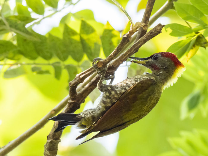 Lesser Yellownape Woodpecker (Picus chlorolophus) Animal Themes Animal Animals In The Wild Bird Animal Wildlife Vertebrate One Animal Plant Plant Part Perching Green Color Branch Nature Tree No People Outdoors Beak Woodpecker Woodpecker In Tree Woodpecker Feeding Woodpecker Bird Yellow Feather