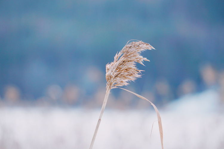 one single grass straw Grass Grassy Grassland Plant Backgrounds Background Weather Wintertime Winter Frozen Nature Frost Cold Frozen Snow Covered Snow Nature Day Cereal Plant Outdoors Plant Growth No People Flower Sky Blue Beauty In Nature Freshness Fragility Close-up Shades Of Winter