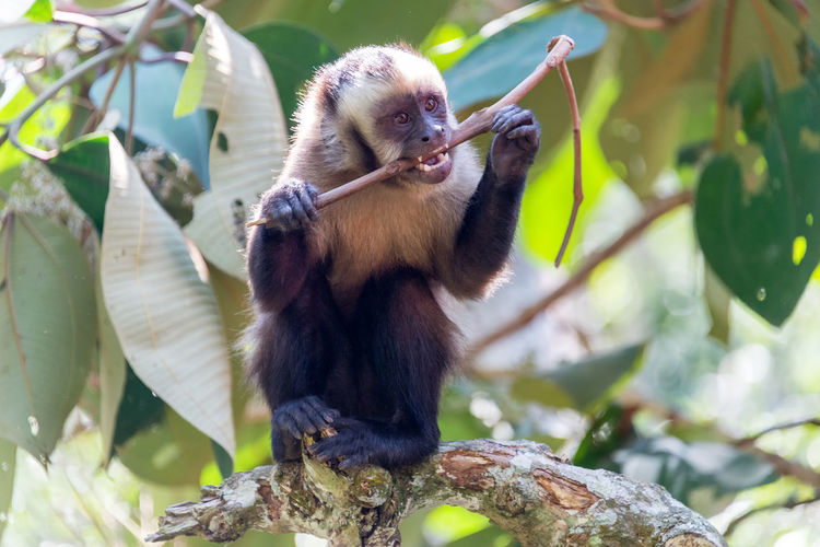 Capuchin monkey eating stick at forest