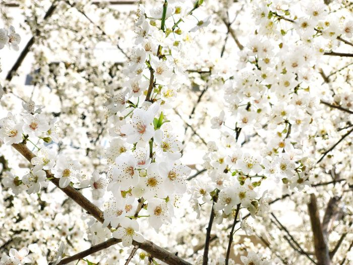 Cherry Tree Japan Sakura Blossom Sakura Apple Tree Flower Background Spring Apple Plant Flower Beauty In Nature Growth Flowering Plant No People Tree Nature Freshness Blossom Branch Fragility Backgrounds Day Outdoors White Color