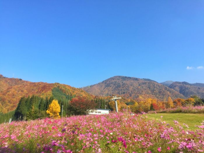 コスモスと紅葉 Cosmos Enjoying The Sun Relaxing Autumn Autumn Colors Colors Of Autumn コスモス コスモス畑 紅葉 Blue Sky