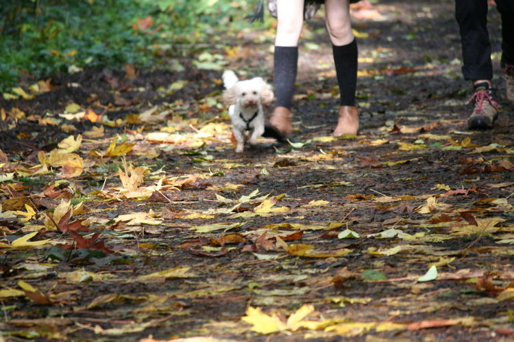 Animal Themes Autumn Autumn Day Dog Domestic Animals Leaf Low Section Mammal Nature One Animal One Person Outdoors Pets Priest Point Park Real People West Highland White Terrier