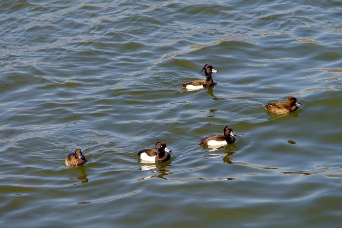 Diving Ducks Animal Themes Animal Wildlife Animals In The Wild Bird Day Duck Duckling Lake Nature No People Outdoors Swimming Tufted Duck Water Waterfront Young Animal