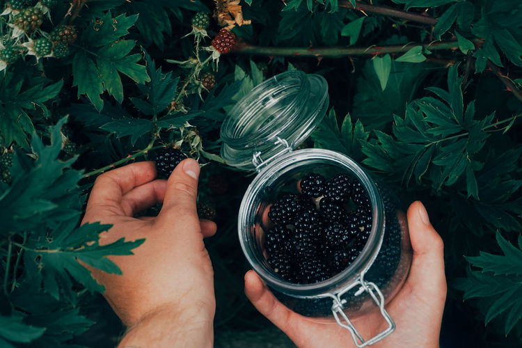 Cropped hands picking blackberries in jar
