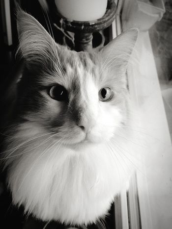 32Days Looking At Camera Feline Whisker Animal Eye Norwegian Forest Cat Cat Cats Of EyeEm Eyeem Crazycatlady Cats