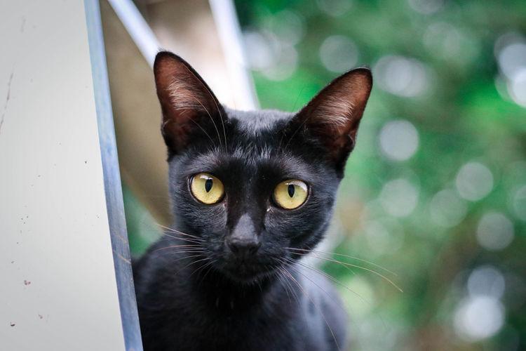 Black Cat. Cat